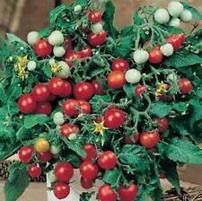 RED ROBIN TOMATO 25 SEEDS CUTE LITTLE 12 INCH PLANT PRODUCES LOTS OF TINY FRUITS