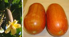 Sicana odorifera-musc concombre - 10 fresh seeds