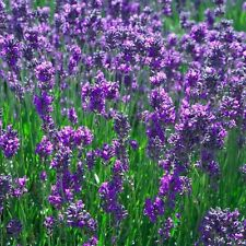 New Pack x6 Traditional Lavender 'Vera' Perennial Flowering Plug Plants