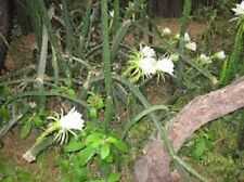 "Night Blooming Cereus Cactus -10 Nice Healthy Cuttings!!! Un-rooted 5-6"" each"