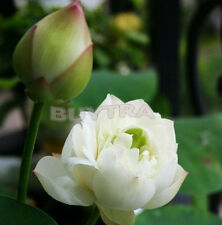 2016 30X Mix Lotus Seeds Asian Water Flower Aquatic Plants Fragrance Blooming