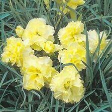 Carnation (Dianthus Caryophyllus Grenadin) - Yellow - 50 seeds