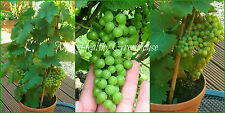 SEEDS – Rapid Growth Chinese Bonsai Climbing Green Grape! Grows well in Pots!