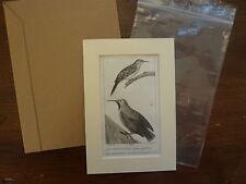 Gravure XIXè - BUFFON / PRETRE 1825 - oiseaux -  Grimpereau -  passe-partout