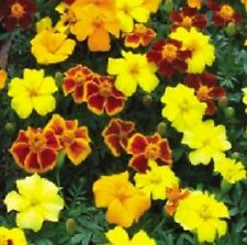 50 Marigold French Disco Mix Detailed PLANT SEEDS