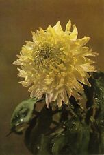 Post Card - chrysanthemum (5) / Publisher from China