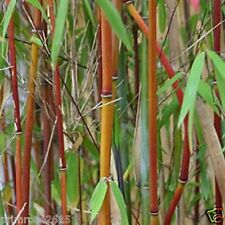 Rare Imported Japanese garden bamboo , Small red Garden Bamboo - 20 seeds pack