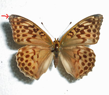 ARGYNNIS PAPHIA female form VALESINA from SWITZERLAND