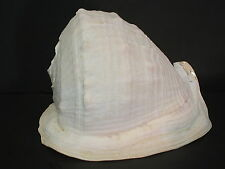 "Rare Monster...CASSIS MADAGASCARIENSIS SPINELLA~252mm/10""~FL, USA SEASHELL"
