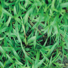 "Carpet grass Seeds ""Premium Grade Coated"" 10 LBS"