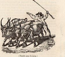 ITALIA ITALIE MAREMME TOSCANE BOEUFS SOUS LE JOUG  PETITE IMAGE 1833