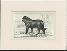 NEWFOUNDLAND OLD ANTIQUE 1900 ENGRAVING NAMED DOG PRINT READY MOUNTED