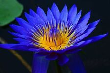 15+ BLUE LOTUS Nymphaea Asian Water Lily Flower Pond Seeds USA SELLER!