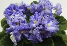 Partly Cloudy Sport~African Violet~Plant
