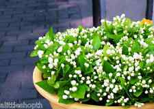20 SEEDS/BAG ARABIAN JASMINE JUSMINUM SAMBAC WHITE SHRUB FLOWER SEEDS