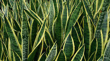 Sansevieria Trifasciata Snake Plant - Mother in Law's Tongue - Air Purifying