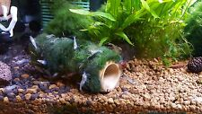 Moss ball on bamboo shelter, natural aquarium decoration for shrimp and crayfish