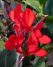 Sweet Canna Indica Red Pretty Canna Lily Bulb Lovely Perennials