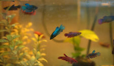 Female Veiltail Betta Fish - Betta Splendens Female Veil Tail Betta