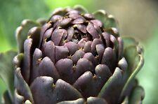 100 graines à semer d'Artichaut violet de Provence, port offert !!