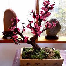 10pcs Seeds RED PRUNUS ( prunus mume ) Cherry Bonsai Seed Home Garden Decor