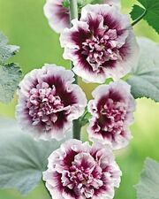 CREME DE CASSIS HOLLYHOCK 20 SEEDS WHITE W/RASPBERRY CENTERS THEY ARE STUNNING