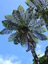 Hardy Black NZ Tree Fern (Cyathea Medullaris ) - 25+ Fresh Spore (seeds)
