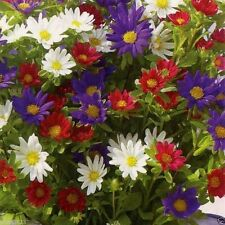 200 Aster Seeds - (Aster Alpinus Mix) -   Pale lavender, Blue, Pink, and White ,