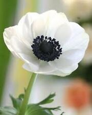 20+ White Anemone  Flower Seeds / Perennial