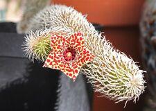 5 Stapelianthus pilosus CLONE_23 (Madagascar) semi seeds samen stapelia