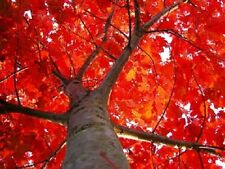 6 SCARLET OAK TREE Quercus Seeds Dry Native Red *Flat Shipping & Free Gift
