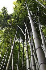 Bambusa bambos-Indiano Spinosa Bamboo - 25 Semi