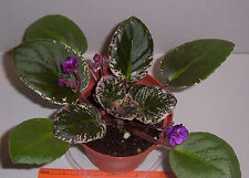 african violet Fisherman's Paradise plant in 4 inch pot