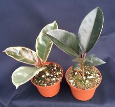"RUBBER TREE COLLECTION, SAVE BUYING TWO LIVE PLANTS SHIPPED IN 3"" POTS"