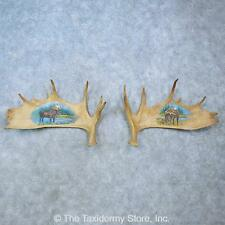 #15479 P | Painted Moose Antler Set Taxidermy Mount For Sale