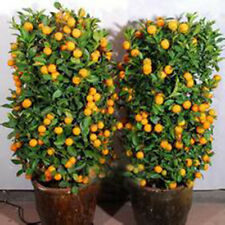 30pcs Fruit Mandarin Citrus Orange Bonsai Tree Seeds Popular Ornamental