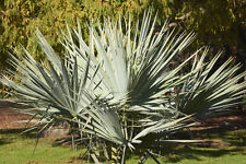 Brahea armata (Mexican Blue Palm) - 5 seeds. Hardy Little Palm With Blue Leaves.