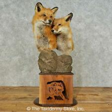#16231 P | Red Fox Life-Size Taxidermy Mount For Sale