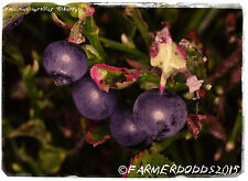 Vaccinium myrtillus 'Bilberry'  [Ex. Co. Durham] 100+ SEEDS