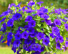 F1 TRAILING PETUNIA SUPERCASCADE BALCONY BLUE - 12 SEEDS - Petunia grandiflora