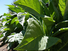 1050+ Virginia Gold Tobacco Seed  Fresh 2015 crop