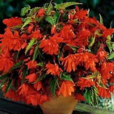 Pack 3 Bulbs/Tubers Begonia Pendula Orange Flowering W.P.C. Prins Bulbs