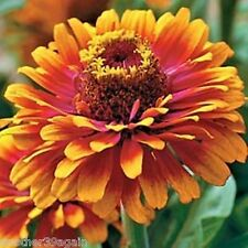 ZOWIE! YELLOW FLAME ZINNIA 20 SEEDS BOLD! BRIGHT! BEAUTIFUL! THAT'S WHAT IT IS!
