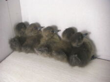 Taxidermy of 5 Real MALE duck duckling,Cute,Stuff Bird