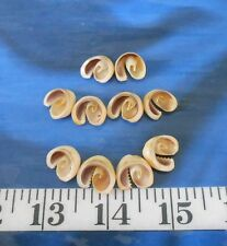 ~ Sliced Cowrie Shells ~10~ Diagonal Center Cuts/Slices ~ Sailor's Valentines ~