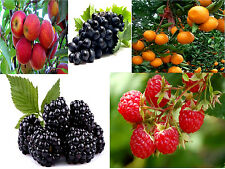Imported 5 Fruits Bonsai Tree Seeds,Apple+Grapes+Orange+Blackberry+Red-Raspberry