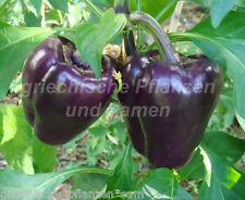 VIOLET BELL Paprika lila ** sehr ertragreich * 10 Samen * für Balkon und Kübel
