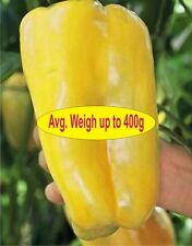PEPPER Nocera Yellow 10 Seeds (VEGETABLE SEEDS)
