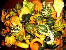BEAUTIFUL MIX OF AUTUMN WINGS GOURDS! 20 SEEDS! GREAT FOR CRAFTS & DECORATING!