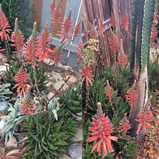 Hearty Aloe Succulent Cuttings Drought Tolerant Succulent Plant Coral Blossoms